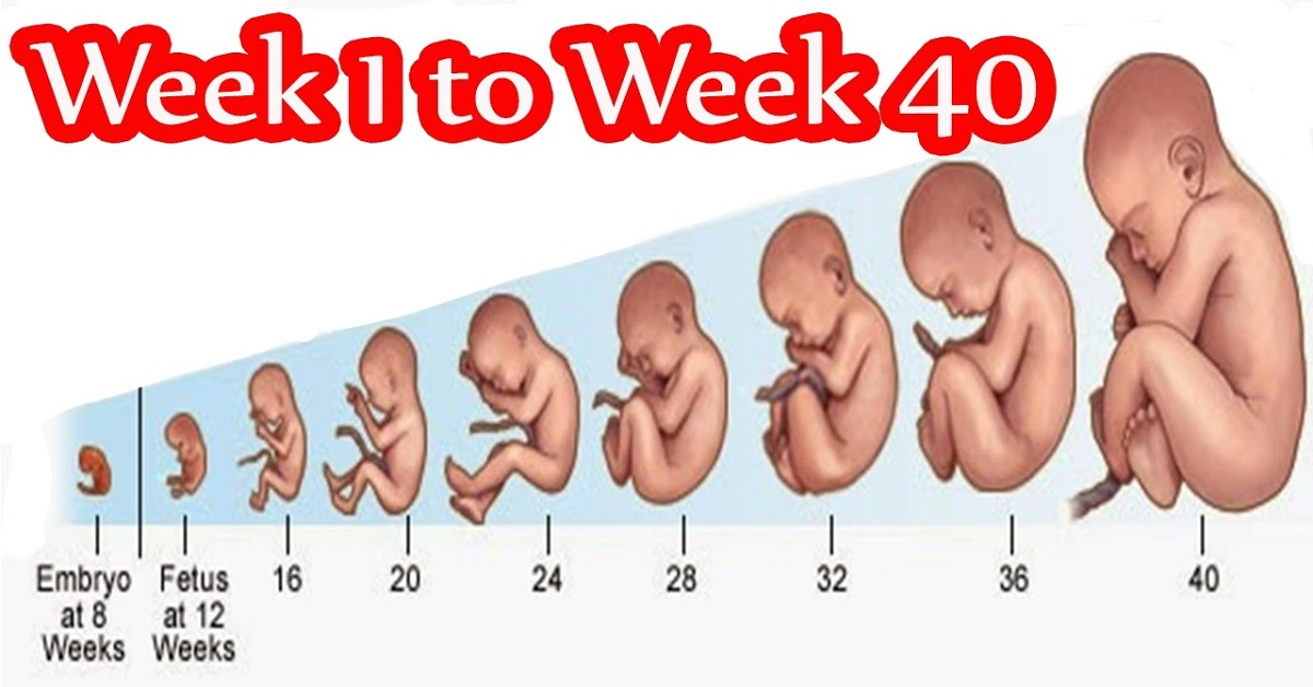 Pregnancy Week By Week Fetal Development | Week 1 To 42 ...
